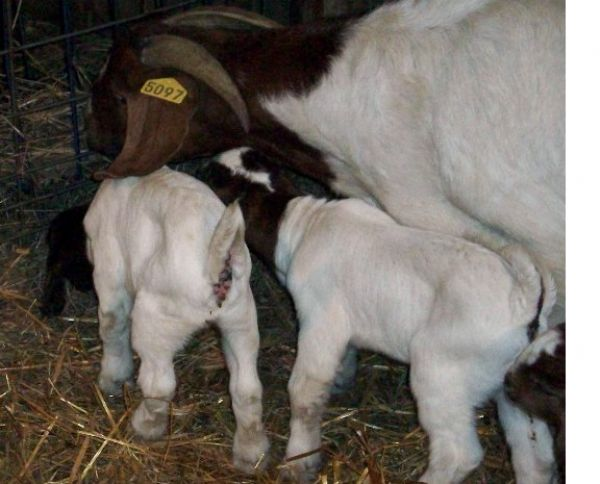 More Kids December 2007 - Boer Goat New Kid