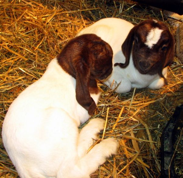 Twins Does Born 12/28/07 - Boer Goat New Kid