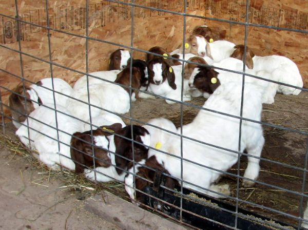 A Pile of Babies - Boer Goat New Kid