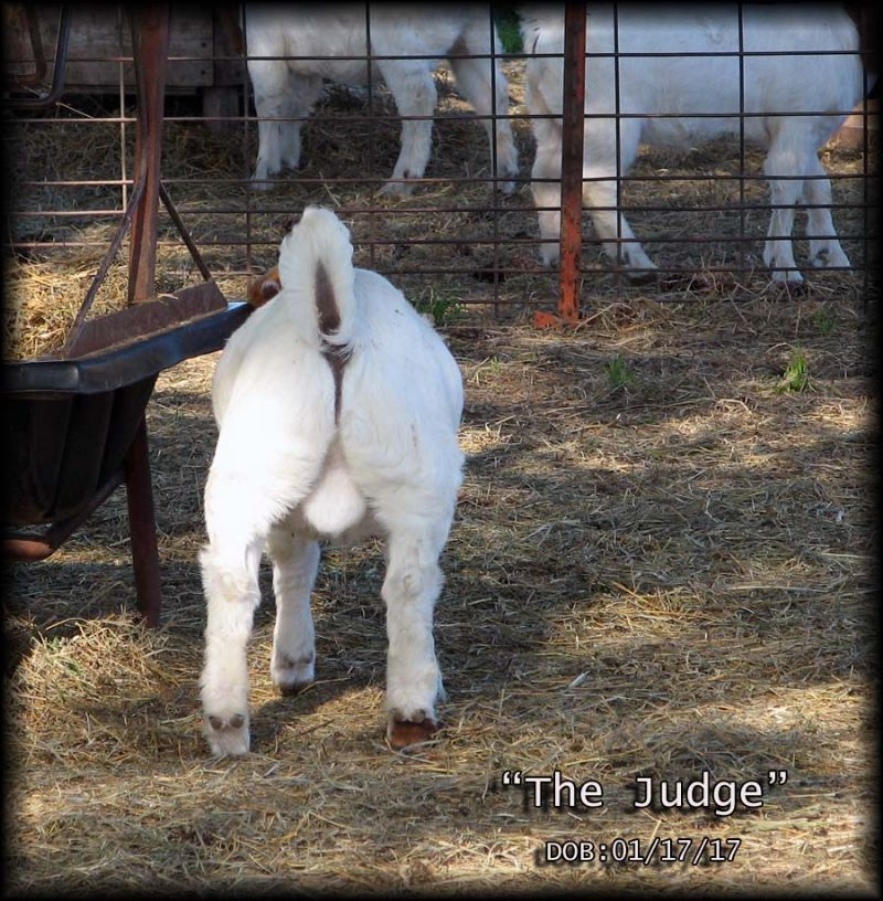 TBG THE JUDGE - Boer Goat Buck