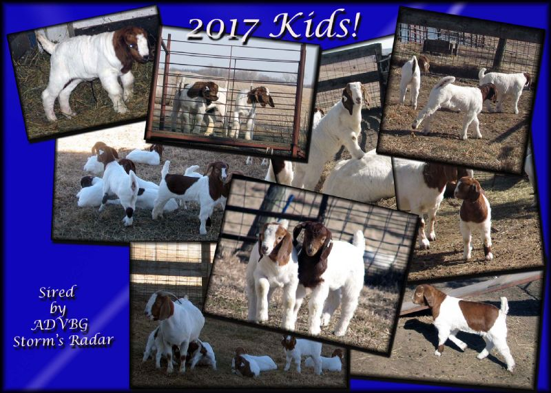 Above is a small portion of the kids sired by Radar - many will be for sale soon!