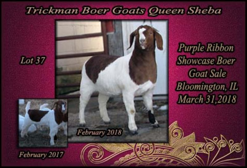 Sheba is an 88% registered doe.....she is gorgeous!